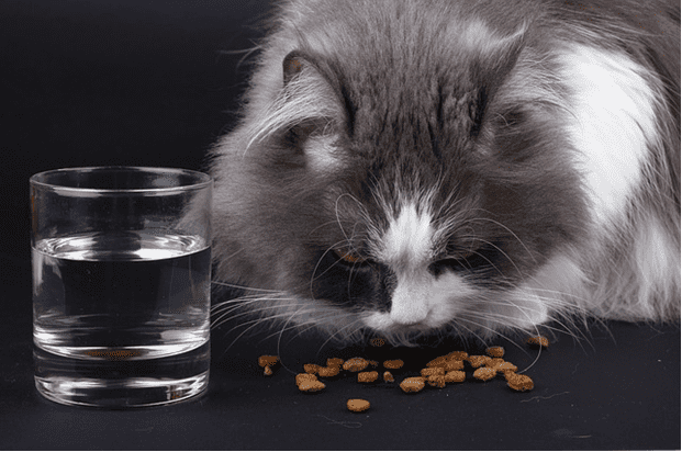 cat-eating-pet-food-with-water