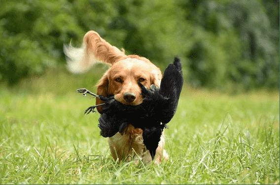 dog-hunting-prey