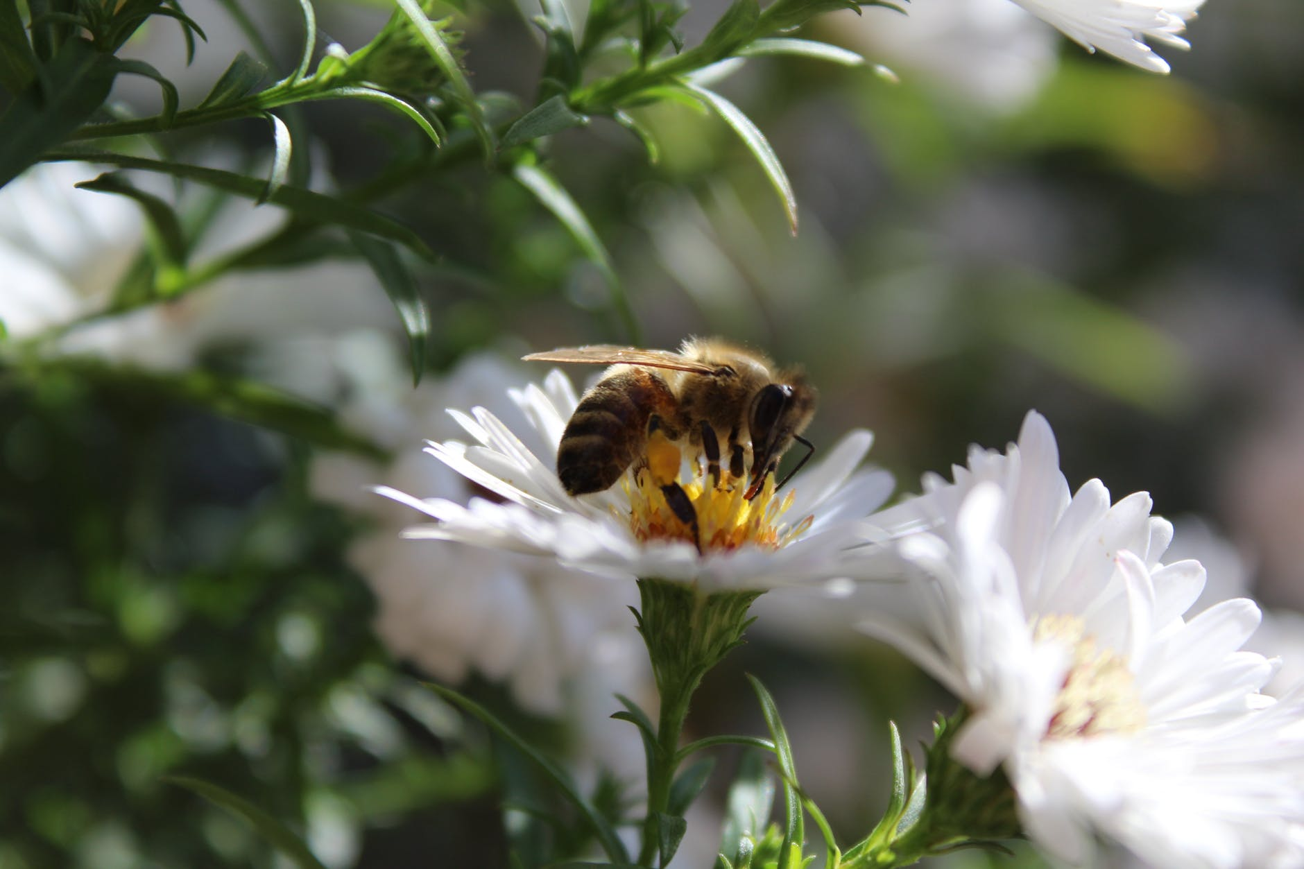 Honey bee sitting on white flower