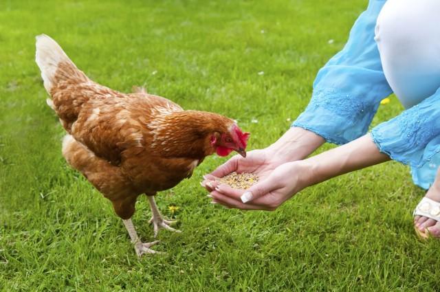 食安焦點議題之一的動物用藥殘留,雞肉是否施打生長激素亦常登上新聞版面。