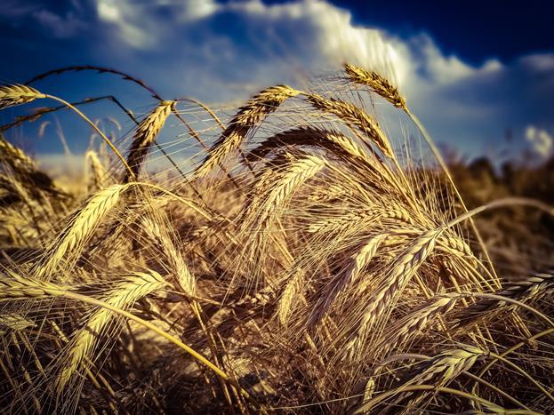 歐陸集團提供世界首創真菌毒素現場測試系統rapidust®,包括穀物批次的代表性採樣和快速分析。