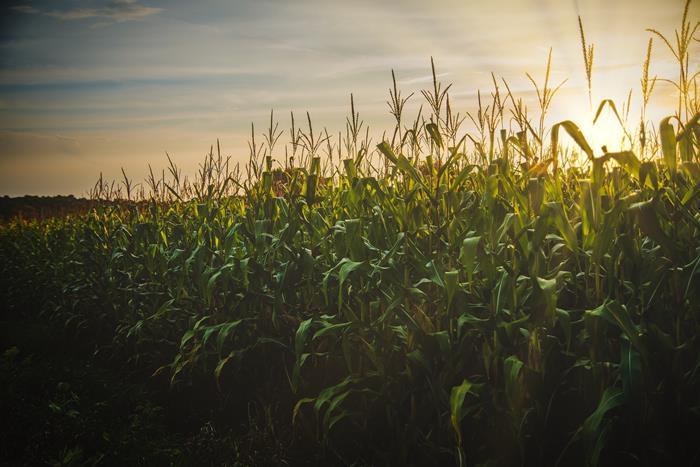 穀物發霉易產生赭麴毒素-玉米也曾被發現受到其汙染