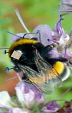 Bee with RFID chip on flower