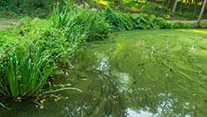 Algae, Algae Everywhere. Toxic and What a Stink