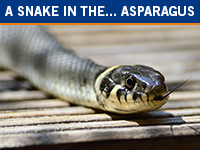 Snake in the Asparagus: Case Study