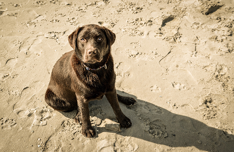 Chocolate colored labrador retriever