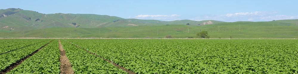 Green crop field
