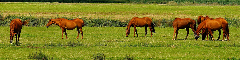 Group of brown horses