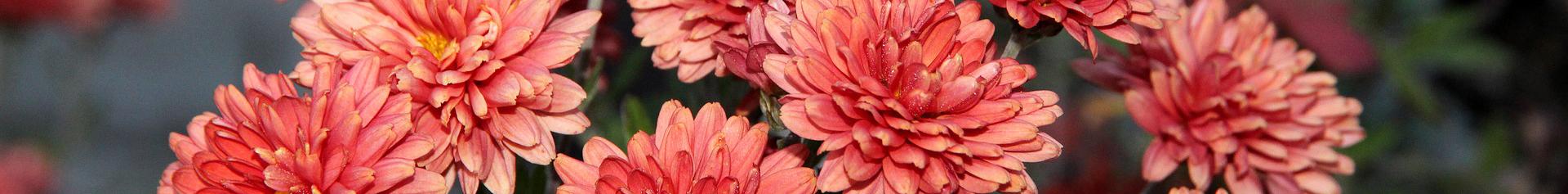 Chrysanthemum banner
