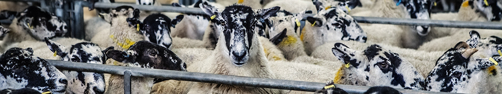 Pack of black and white sheep