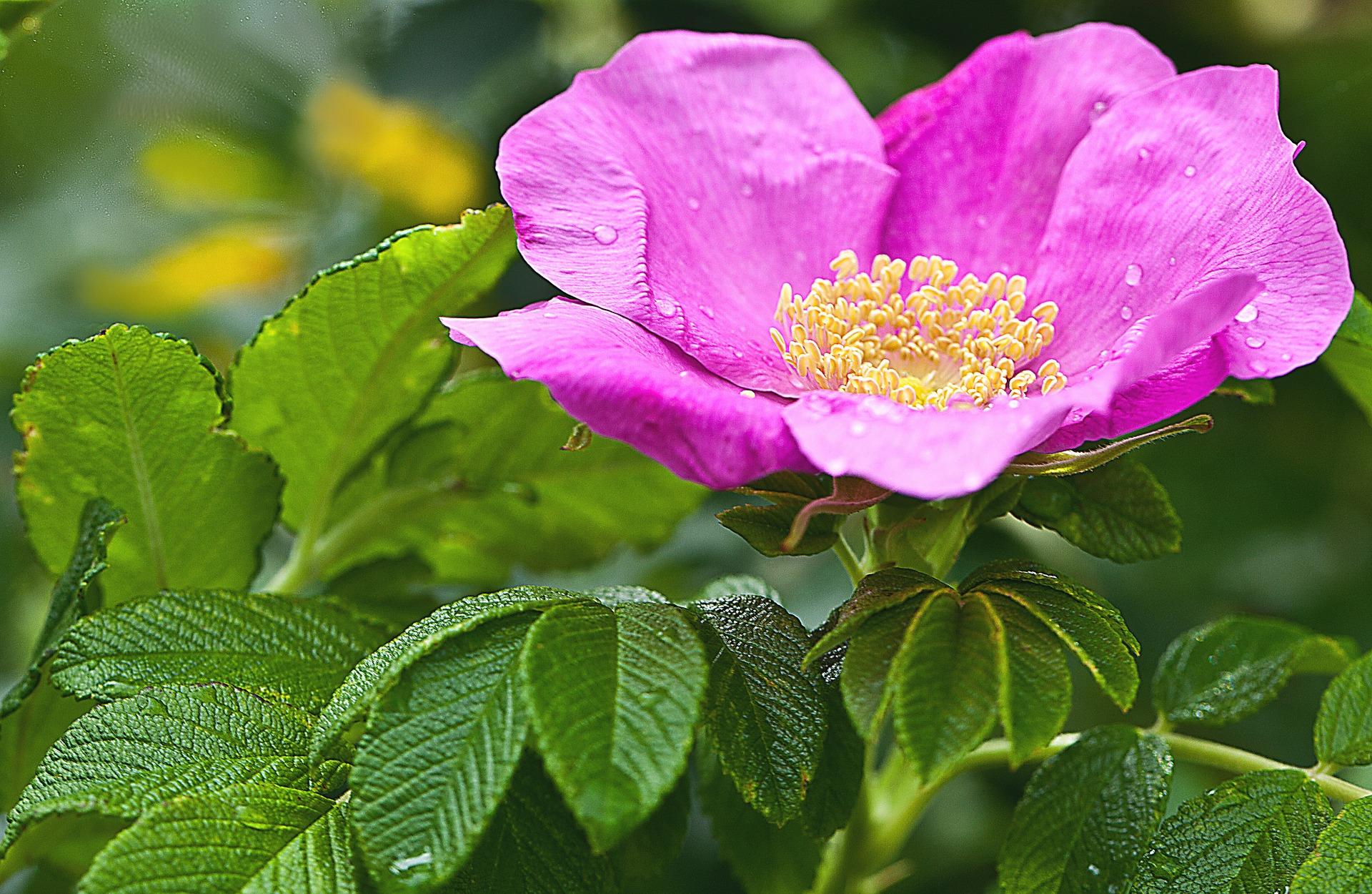 Rosa setigera | Rose Genetic Analysis Case Study