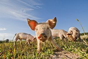 Beställ djurproduktion