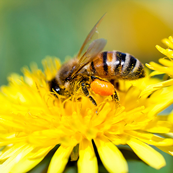 Biene auf Blume, bee on flower