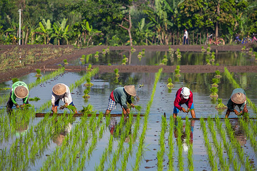 Reisbauern auf dem Feld