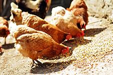 Høns der spiser