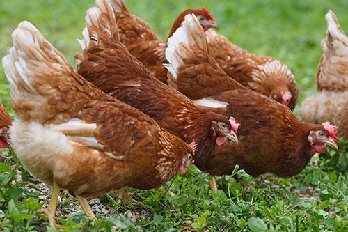 Beställning salmonella fjäderfä